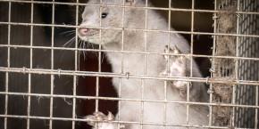 covid-danemark-mutation-vison-elevage-veterinaire-vaccin