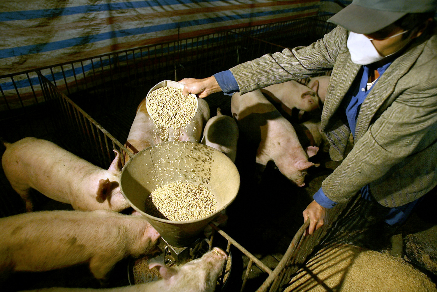 porc alimentation animale betail eleveurs agriculture cout 20210519170146