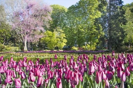 Los tulipanes vuelven por primavera al real jard n for Jardin botanico horario