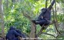 ep la chimpance wounda daluzuna cria salvaje