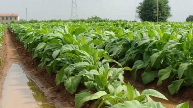 tabaco, plantacion, altadis, planta