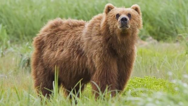 ep oso kodiak ursus arctos middendorffi en alaska