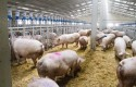 ep cerdosgranja porcina pigs farming