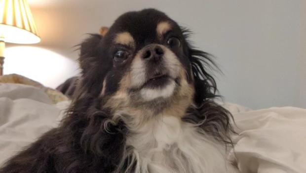 dog perro chihuahua